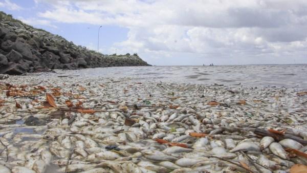 SÃO JOSÉ DE RIBAMAR/MA – Autoridades investigam mortes de peixes