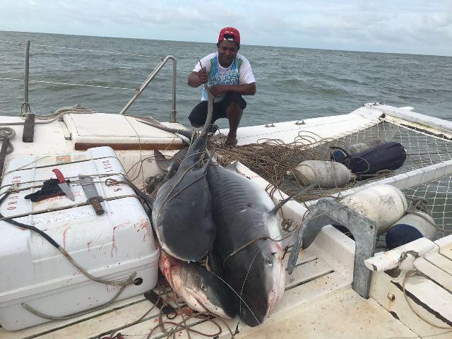 SÃO LUÍS/MA – 6 tubarões tigres são pescados a 500 metros da Praia do Araçagi