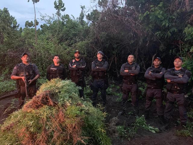 VITÓRIA DO MEARIM/MA – PLANTAÇÃO DE MACONHA É DESTRUÍDA PELA POLÍCIA CIVIL DO MARANHÃO